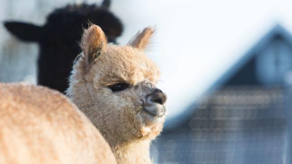Alpaca's & kamelen