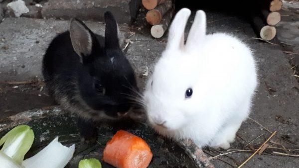 Voeding van het konijn